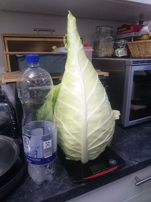 1,3 kg of pointed white cabbage for 0,88€